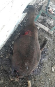 Este animal quedó gravemente herido, luego murió.