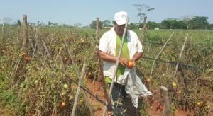 Efectos. Plantaciones de tomate afectadas por el temporal.