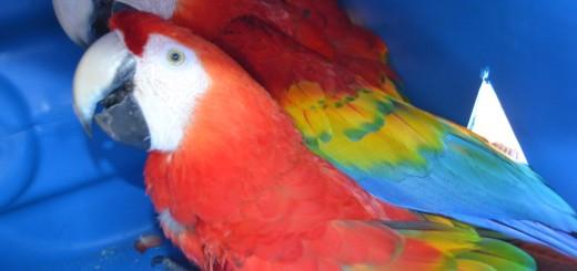Guacamayo rojo es la especie que aun hay en Paraguay